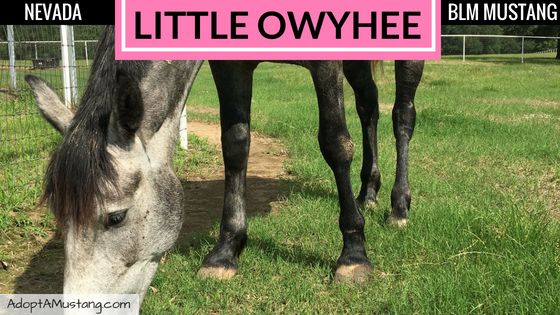 Cricket – 2012 Little Owyhee Mare