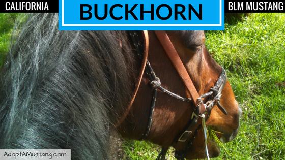Bay BLM Gelding from Buckhorn HMA