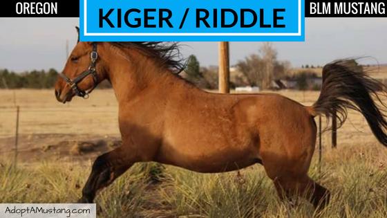 2013 Kiger Stallion