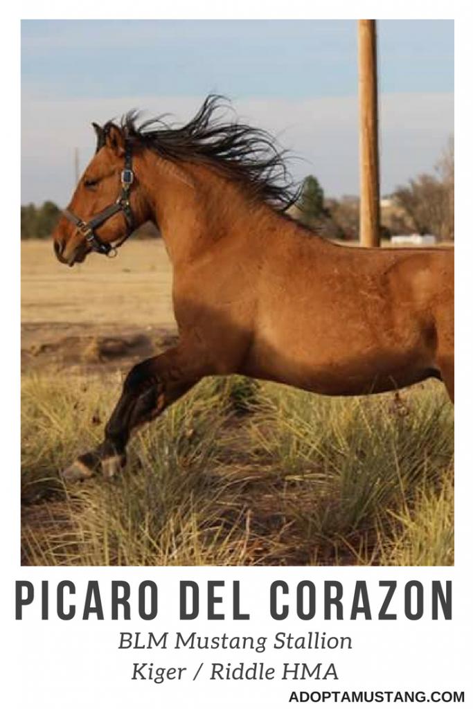 Kiger Riddle BLM Stallion