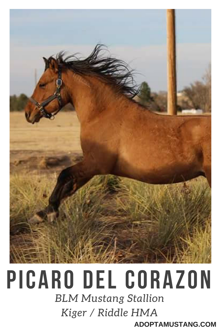 Kiger Riddle BLM Stallion