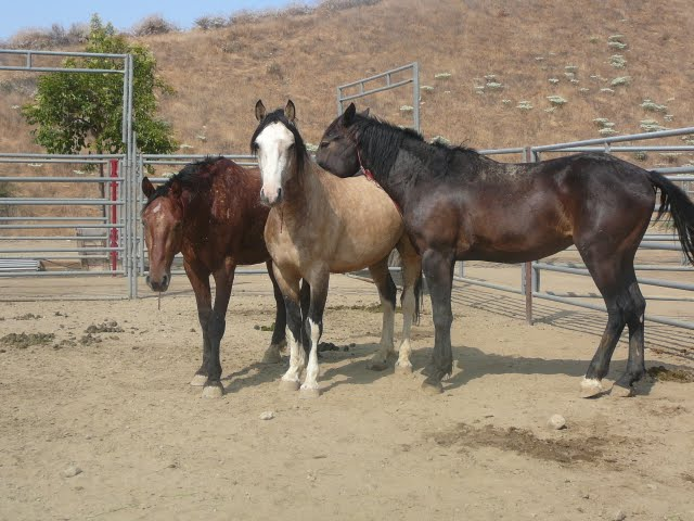 BLM Horses at an adoption event in Redlands, CA
