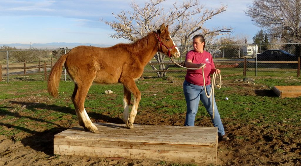 BLM Filly being trained by a volunteer for an adoption event.